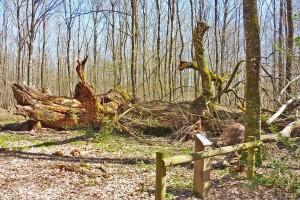 chêne de montaloyer (1)