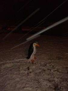 pingouin à Braize